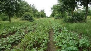 Wakelyns Agroforestry, Suffolk UK, mixed timber and potatoes
